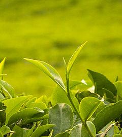 Cây chè Thái Nguyên